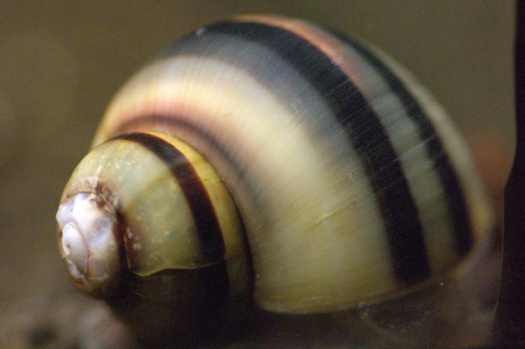 asolene-spixi-snail-1.jpg