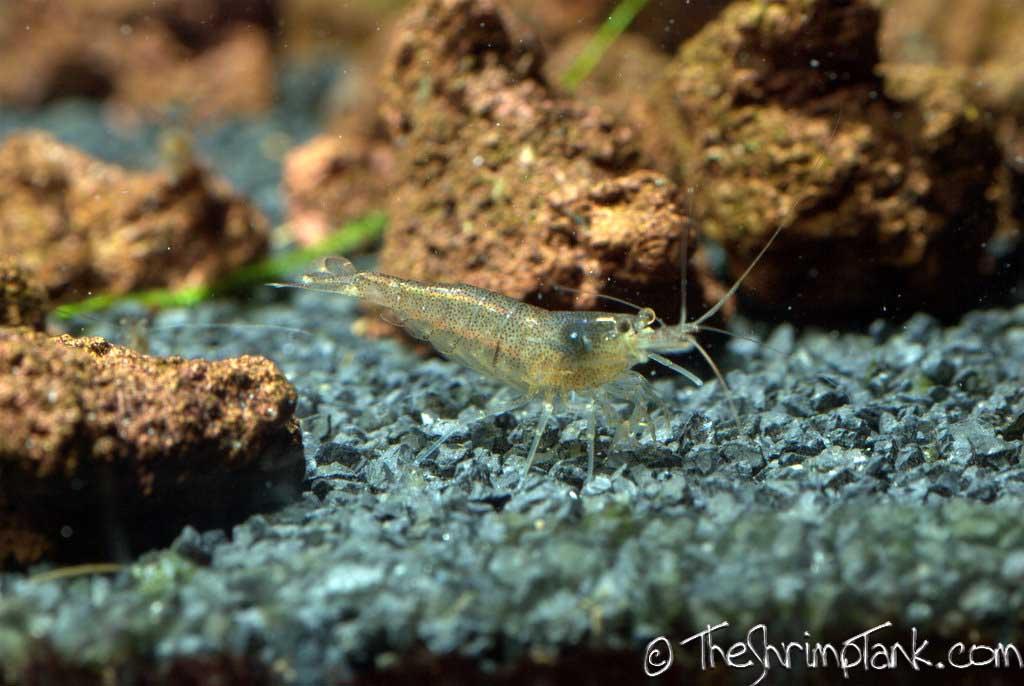malawa-shrimp-4.jpg