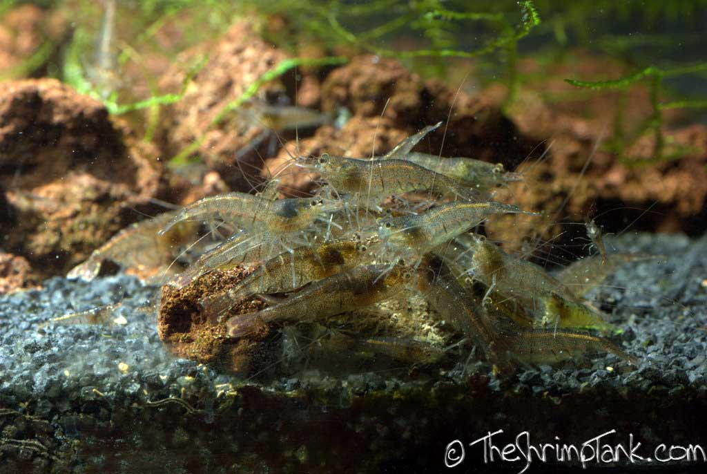 malawa-shrimp-6.jpg