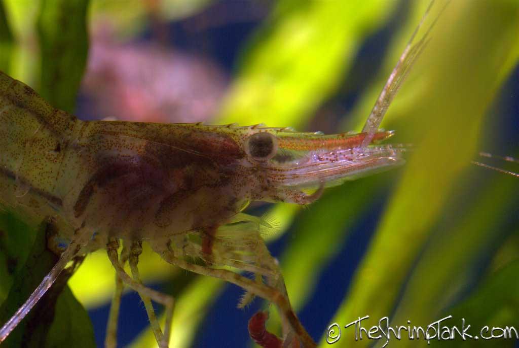 red-claw-macro-shrimp-11.jpg